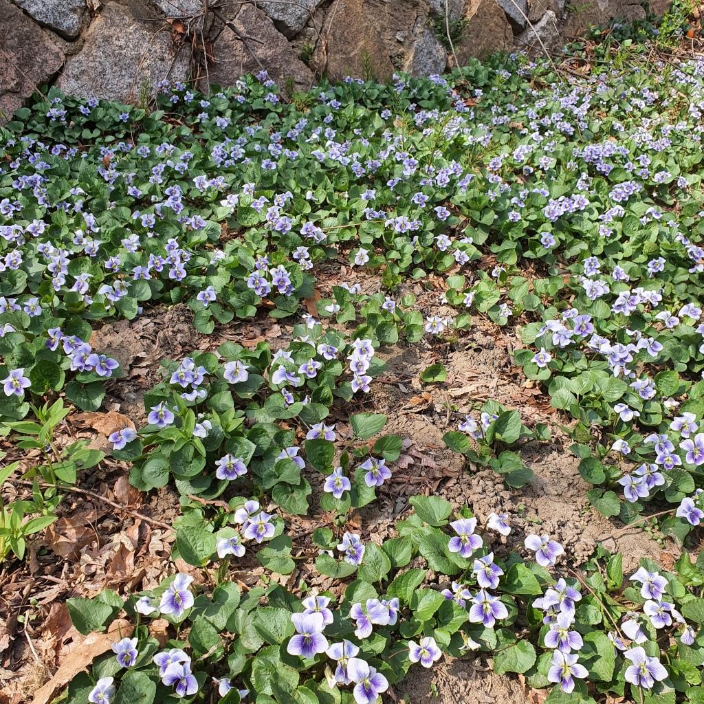 field of meadow blue violets