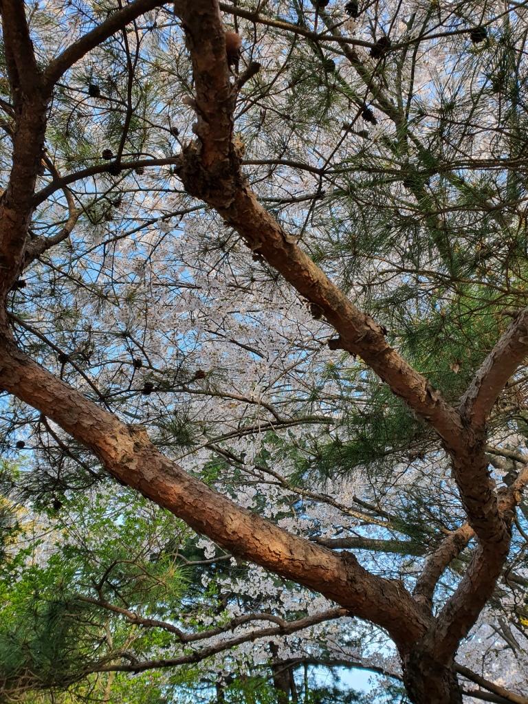 korean cherry trees pine tree