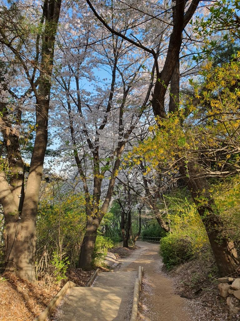 cherry blossoms forsythia mountain trail