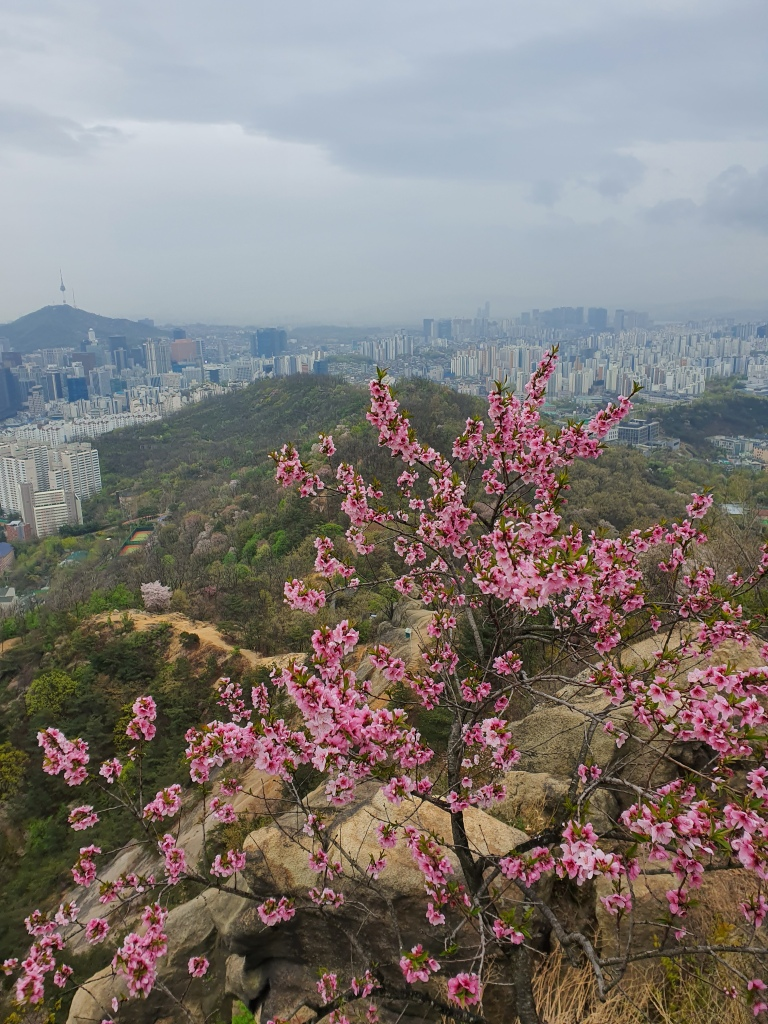 pink peach tree blossoms namsan tower