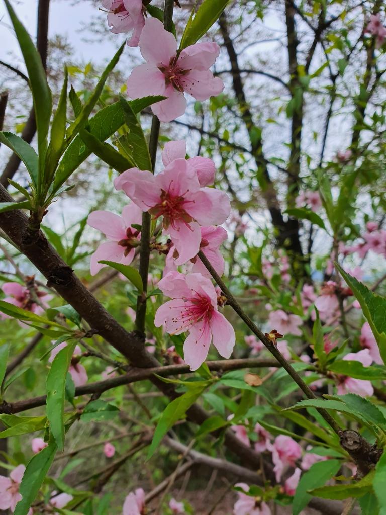 pink peach tree blossoms korea