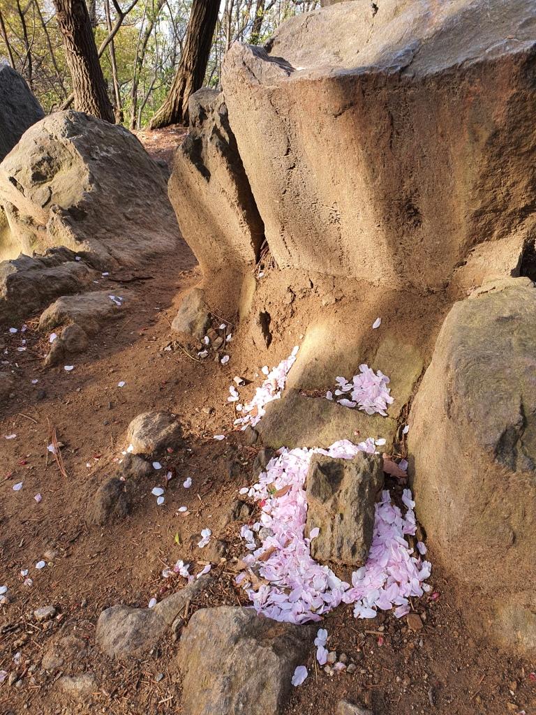 cluster of cherry blossom petals ground
