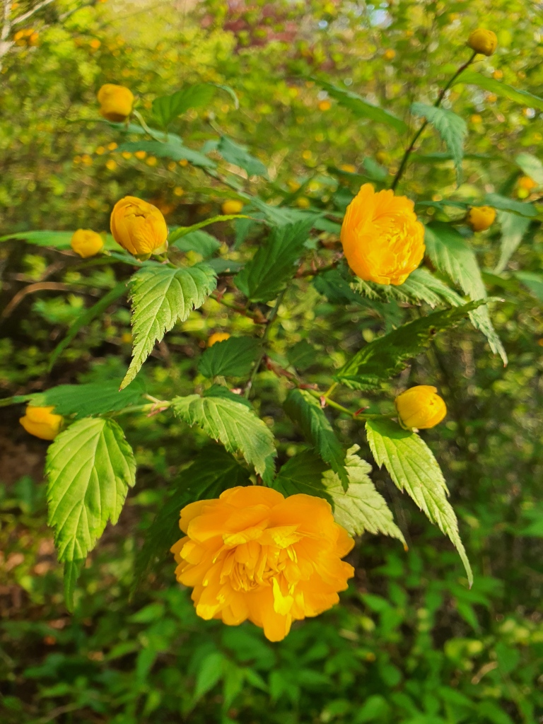 yellow kerria flowers