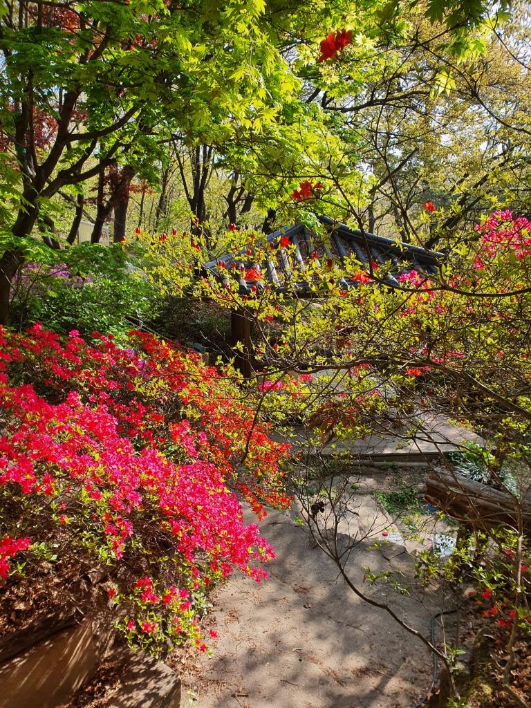 pink azaleas korea mountain